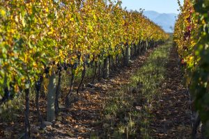 Cadus Wines vinhedo Argentina
